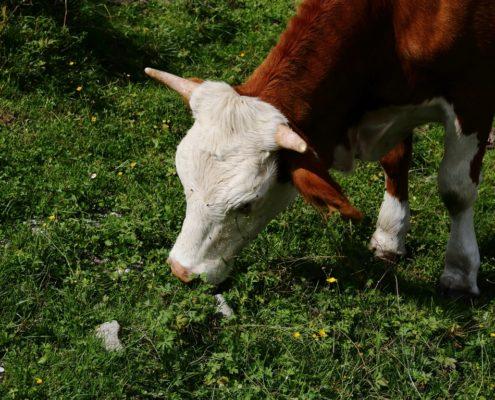 Kuh mit Hörnern frisst Gras