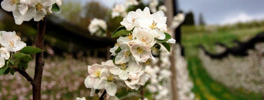 Weiße Apfelblüten