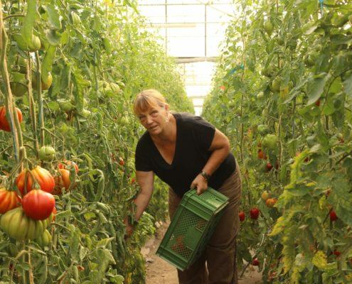 Frau erntet Tomaten in Glashaus