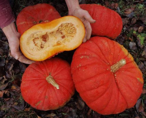 große orange Kürbisse, einer ist aufgeschnitten und wird in Händen gehalten