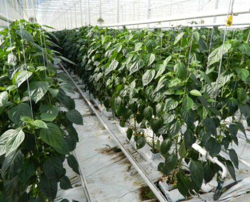 Glaushaus ohne Erde mit Pflanzen in Reih und Glied