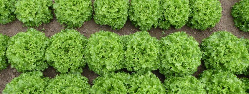 Salatpflanzen in 4 Reihen