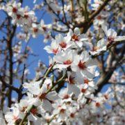 Weiße Obstbaumblüten