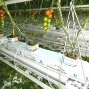 Tomatenpflanzen ohne Blätter wachsen aus Behältern wo Gemüsebau Steiner draufsteht