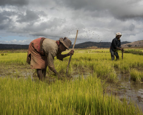 Reisfeld, dass von zwei Bauern bestellt wird