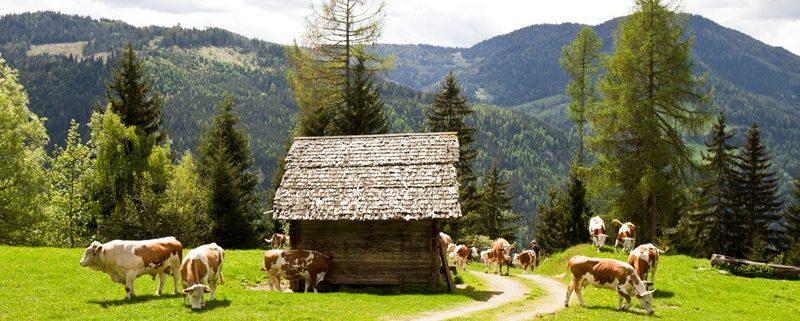 Mehrere Kühe in den Bergen vor einer kleinen Holzhütte