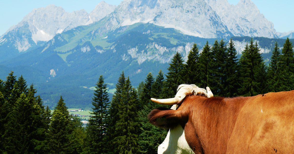 Kuh mit Hörnern schaut in die Ferne