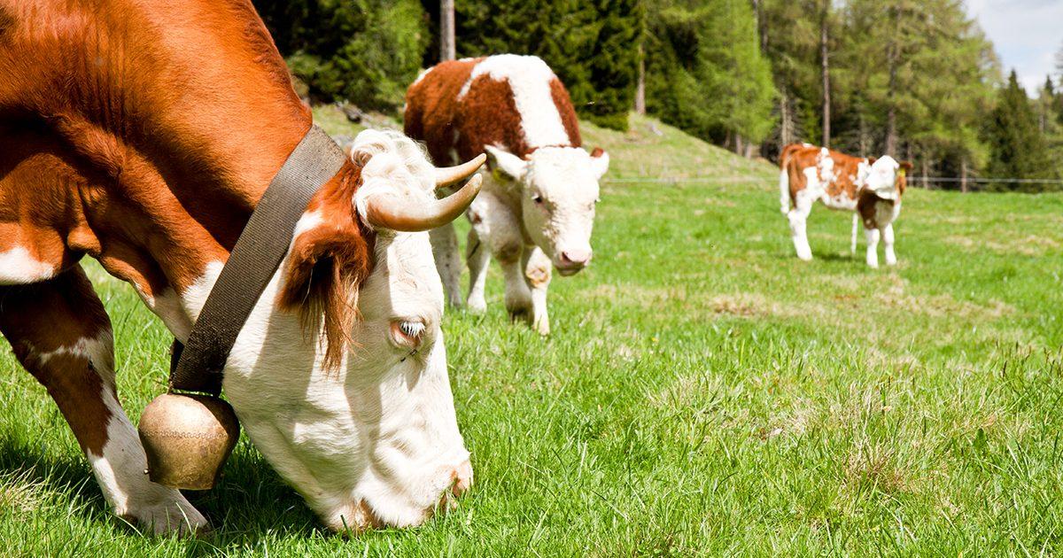 Kühe grasen