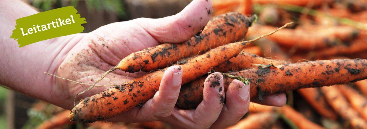 Weibliche Hand hält erdige Karotten