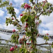Apfelbaum der mit Eisschicht überzogen ist