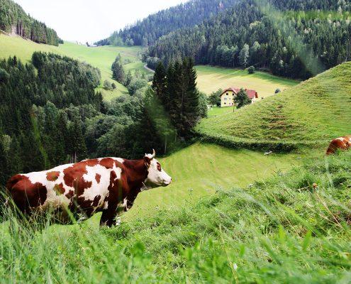 Blick auf eine Weide mit zwei braun weiß gefleckten Kühen