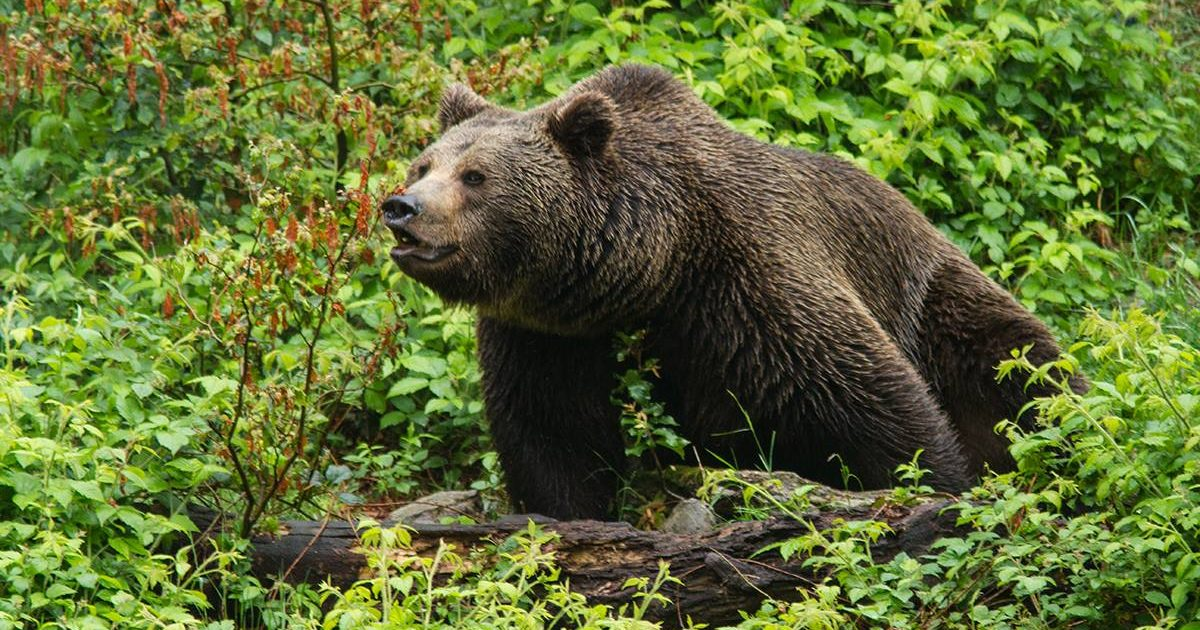 Ausgewachsener Braunbär steht in grünem Wald