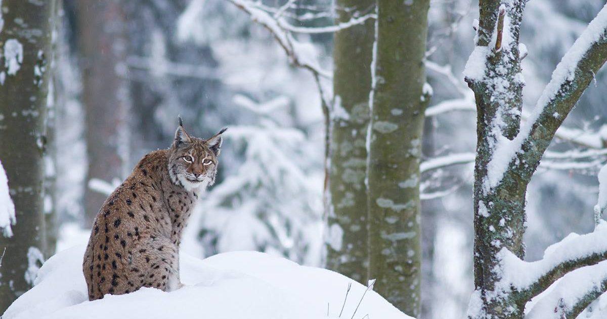 Luchs sitzt in schneebedeckter Landschaft