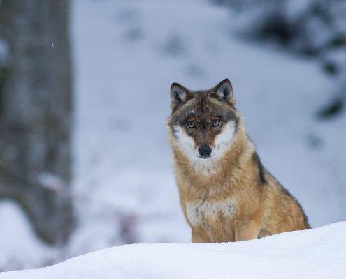 Wolf blickt durch den Schnee in die Kamera