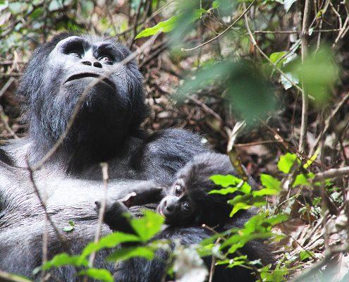 Gorilla mit Jungtier im Arm