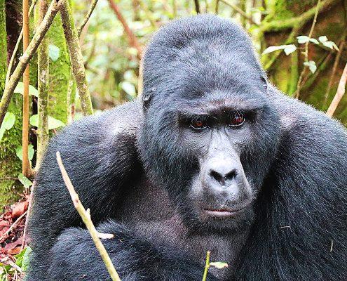 Gorilla mit Silberrücken