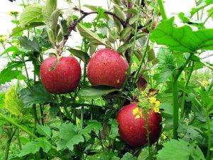 Äpfel und andere Pflanzen