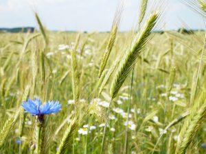 Nahaufnahme von Weizen, Kornblume und Margeriten