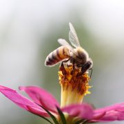 Honigbiene auf kräftig rosafarbener Blüte