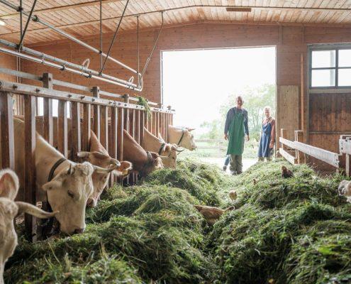 Blick in einen großen Laufstall mit viel Heu und behornten Kühen