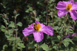 Lila Blume mit Biene