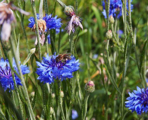 Biene sitzt auf tiefblauer Blume