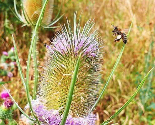 Biene steuert auf Distel zu
