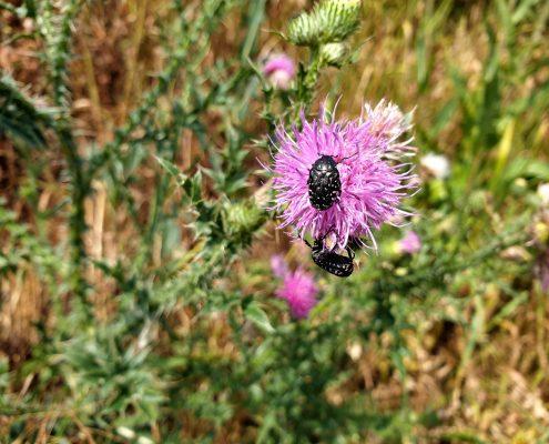 Schwarzer Käfer mit weißen Punkten auf Distel