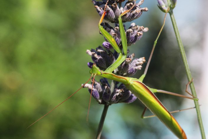 Gottesanbeterin auf Lavendel