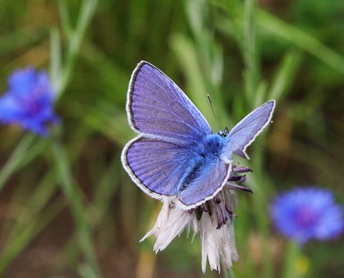 Blauer Schmetterling auf Blume