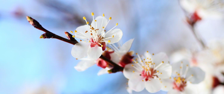 weiße Obstblüten