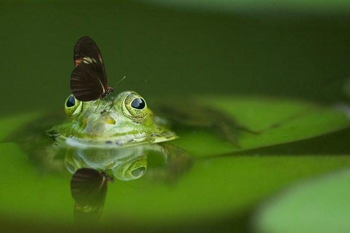 Libelle sitzt auf dem Kopf eines schwimmenden Frosches
