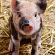 Junges Schwein im Stroh