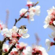 Mehrere Marillenblüten mit Biene darauf